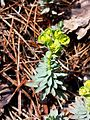 Euphorbia saxatilis sl12.jpg