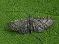 Eupithecia sp. (41393896371).jpg