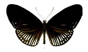 Euploea alcathoe - Image: Euploea Alcathoe 31 1