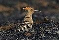 Eurasian Hoopoe best by Vedant Kasambe DSC 7024 02.jpg