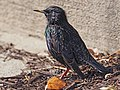 European Starling - Sturnus vulgaris, Veteran's Park, Woodbridge, Virginia (25823769668).jpg