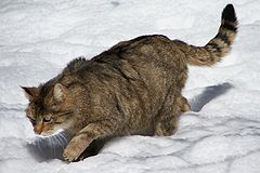 European Wildcat Nationalpark Bayerischer Wald 03.jpg