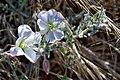 Evening primrose (28514425956).jpg