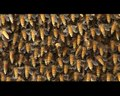 File:Evidence-for-Ventilation-through-Collective-Respiratory-Movements-in-Giant-Honeybee-(Apis-dorsata)-pone.0157882.s005.ogv