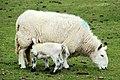 Ewe and lamb near Finnis - geograph.org.uk - 1826814.jpg