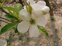 Exochorda racemosa2