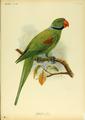 Extinctbirds1907 P20 Palaeornis wardi0321.png