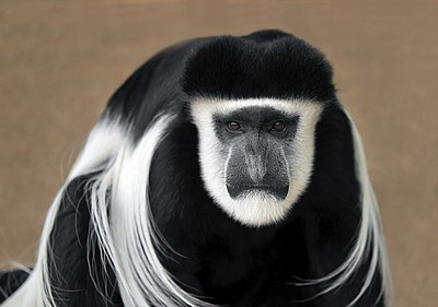 Face by the Mantled guereza.jpg
