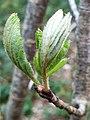 Fagales - Quercus robur - 61.jpg