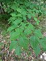 Fagus grandifolia 03797.jpg