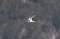 Fairy Tern (Sternula nereis) (31246438941).jpg