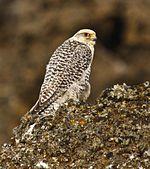 Falco rusticolus white cropped.jpg