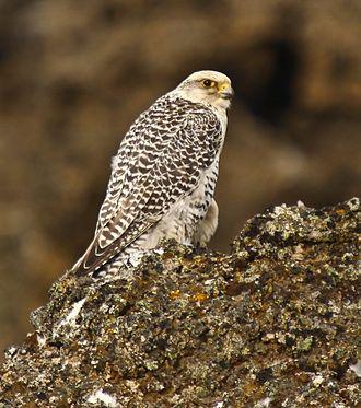 Gyrfalcon - Image: Falco rusticolus white cropped