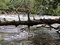 Fallen Tree Black Mountain Campground Pisgah Nat Forest NC 4421 (37894589246).jpg
