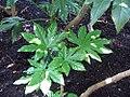Fatsia japonica 2zz.jpg