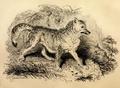 Fauna boreali-americana (1829) Canis latrans.png