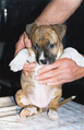 Female puppy American Staffordshire Terrier.png