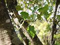 Ficus arnottiana (16098598429).jpg