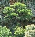 Ficus ingens, habitus, b, Skeerpoort.jpg