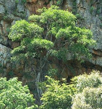 Ficus ingens - Rock-splitting habit on cliff face