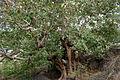 Ficus mollis in Keesaraguda, AP W IMG 9138.jpg