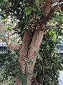 Ficus racemosa 049.jpg