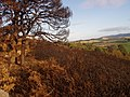 Fire damaged gorse and trees - geograph.org.uk - 1519980.jpg