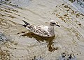 First Winter Herring Gull. Larus argentatus (39593416191).jpg