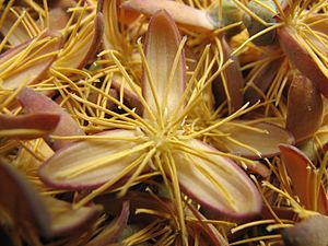 Caryota - Image: Fishtail palm flower detail