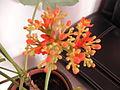 Fleurs de Guadeloupe.JPG