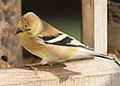Flickr - Oregon Department of Fish & Wildlife - 3379 american goldfinch male odfw.jpg