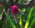 Flor da Bromelia.jpg