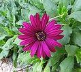 Flower (27964096806).jpg