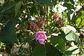 Flower Ruellia Multisetosa.JPG