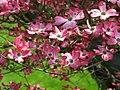 Flowers-pink-dogwood - West Virginia - ForestWander.jpg