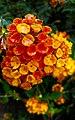 Flowers (34750170332).jpg