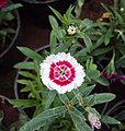 Flowers - Uncategorised Garden plants 153.JPG