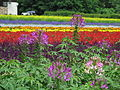 Flowers at Farm Tomita 4.jpg