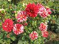 Flowers of Bangladesh06.jpg