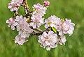 Flowers of Malus domestica (13).jpg