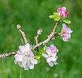 Flowers of Malus domestica (19).jpg