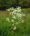 Fluitenkruid (Anthriscus sylvestris) in bloemenweide. Locatie, Natuurterrein De Famberhorst 03.jpg