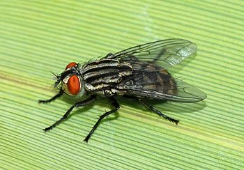 A female fly (Sarcophaga sp.)