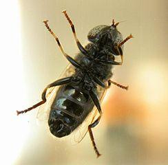 Mouche, vecteur de maladie dans MOUCHE 244px-Fly_in_GSCAS2