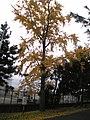Folhas amarelas - panoramio.jpg