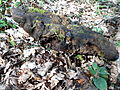 Fomitopsis pinicola-Dordogne 05.JPG
