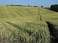 Footpath through wheat, Chalfont St Giles - geograph.org.uk - 1589874.jpg