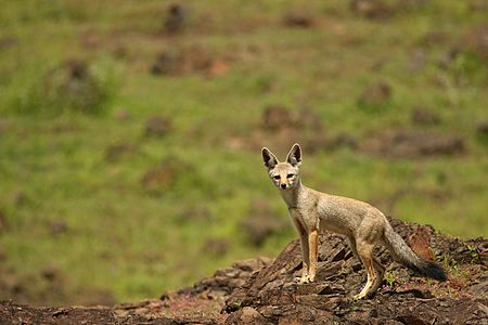 Fox on Th Rocks Milind Raut Pune Outskirts August13.jpg