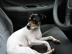 Fox terrier chileno.JPG