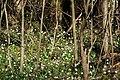 Frühlings-Knotenblume, Leucojum vernum 61.JPG